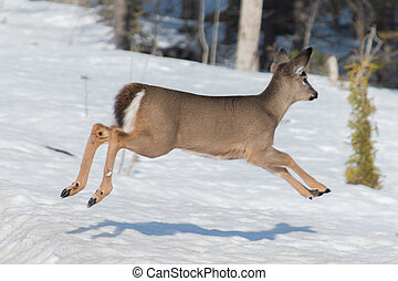 White tail deer fawn running and jumping
