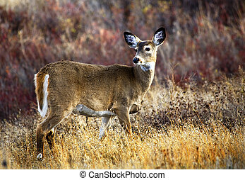 White Tail Deer National Bison Range Charlo Montana