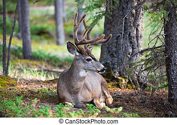White Tail Deer Resting - An eight-point buck, white-tail...