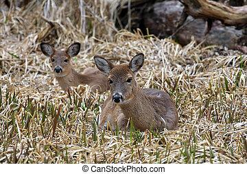 White-tail Deer Two Laying In Marsh