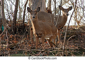 White-tail Deer Two Young Deer Looking