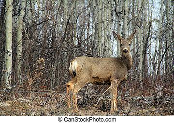White Tail Deer - White Tail deer in brush-