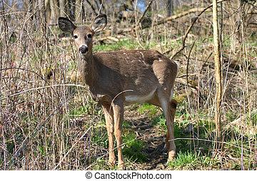 White-tail Deer - White-tail deer in morning sun losing ...