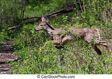White-tail Deer Young Doe
