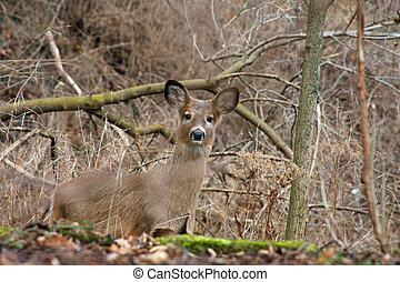 White-tail Deer Young Looking Peek-a-boo