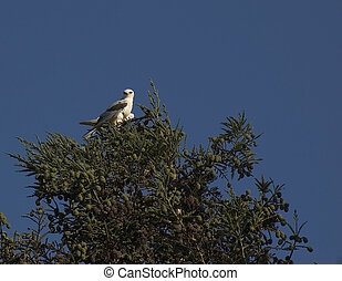 White Tail Kite in Tree top