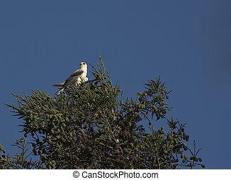 White Tail Kite in Treetop