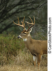 a big whitetail buck standing in a grassy meadow