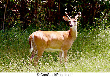 a male white tailed deer with velvet on the antlers