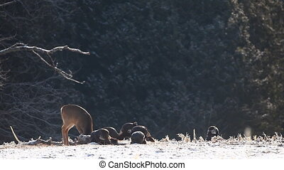 White-tailed Deer and Wild Turkeys - White-tailed Deer and...