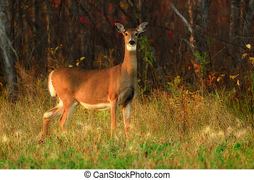 A White-tail deer just emerging from the forest, almost sundown, autumn. Shot at Birds Hill Park, Manitoba.