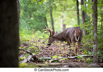White-tailed deer buck - A large white-tailed deer buck ...