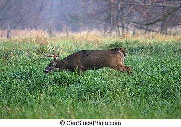 White-tailed Deer Buck following female