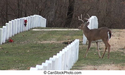 White-tailed deer buck in Cemetery
