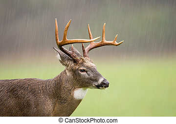 Large white-tailed deer buck standing in an open meadow during a rain storm in Smoky Mountain National Park