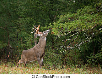 White-tailed deer buck - Large white-tailed deer buck in ...