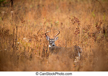 White-tailed deer buck - Large white-tailed deer buck ...