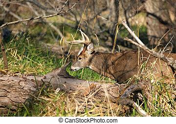 White-tailed Deer Buck looking for female deer