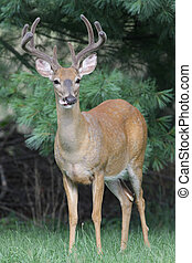 White-tailed Deer Buck (Odocoileus virginianus) in a field with his tongue sticking out