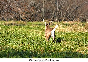 White-tailed Deer Buck running in marsh grass tail up