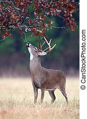White-tailed deer buck rut behavior - White-tailed deer buck...