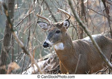 White-tailed Deer Buck - White-tailed Deer buck standing ...