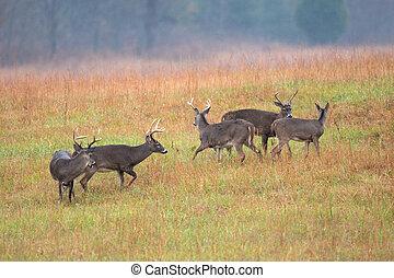 White-tailed deer bucks in an open meadow in Smoky Mountain ...