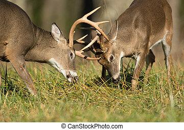 White-tailed deer bucks - Two white-tailed deer bucks...