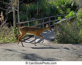 White-Tailed Deer Corkscrew Swamp Sanctuary Audubon Naples ...