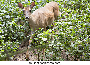 White Tailed Deer Doe (Odocoileus virginianus)