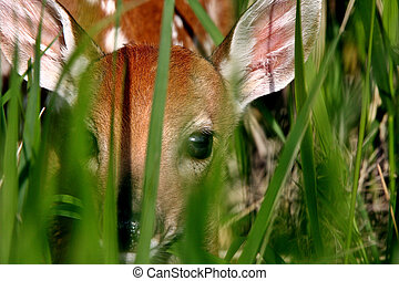 White tailed Deer fawn hiding in grass