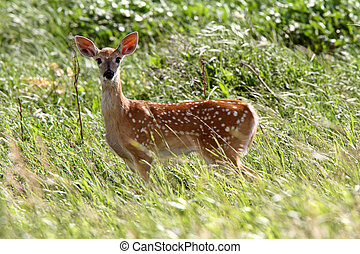 White tailed Deer fawn looking at photographer
