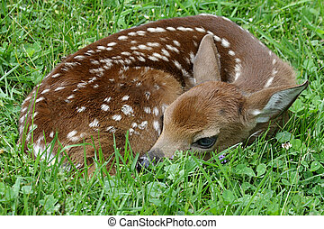 White-tailed Deer Fawn - White-tailed Deer (Odocoileus ...