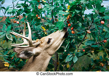 White Tailed Deer Feeding - A deer with antlers feeding on ...