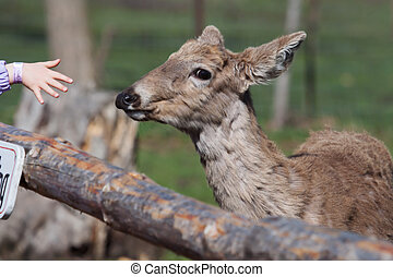 White Tailed Deer in the Wild