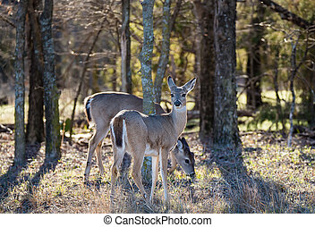 White-Tailed Deer in the woods