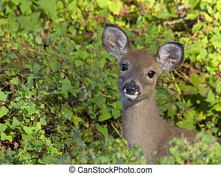 White-tailed deer in woods