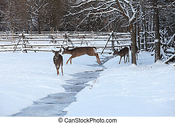 White-tailed deer jumping ditch