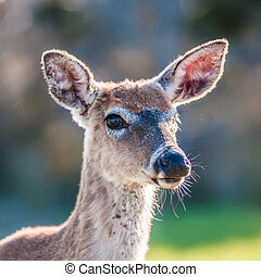 white tailed deer portrait