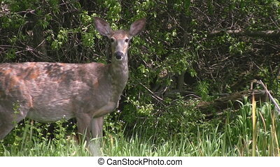 White tailed deer raises his head - A white tailed deer...