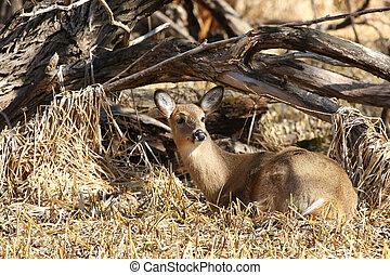 White-tailed Deer - White-tailed deer Odocoileus virginianus...
