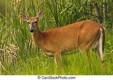 White Tailed Deer - Young white tailed deer in the tall ...