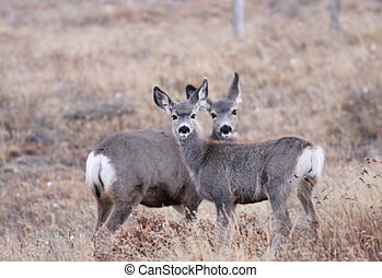 White tailed deers in the meadow