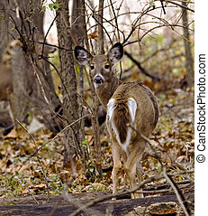White-tailed Doe - Female white-tailed deer standing in the...