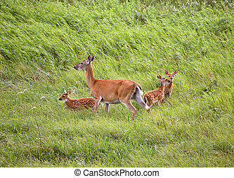 White-tailed doe with three fawns in a Saskatchewan field
