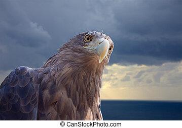 white-tailed eagle against sea scenic