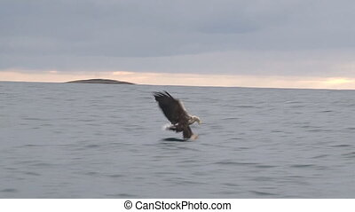 White-tailed Eagle catching a fish out of water