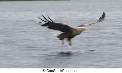 White-tailed Eagle catching fish - White-tailed Eagle...