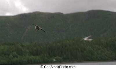 White-tailed Eagle catching fish out of the water