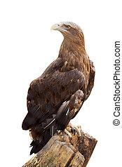 white-tailed eagle. Isolated over white - white-tailed eagle...